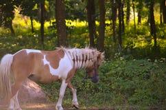 Молодая лошадь идя во двор стоковые фотографии rf