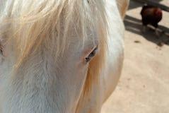 Молодая лошадь с белым мехом стоковые изображения rf