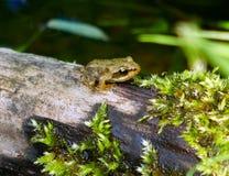 Молодая лягушка Стоковое фото RF