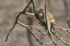 Молодая макака резуса сидя на ветви без листьев над s стоковое изображение rf