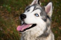 Молодая напористая собака на прогулке осиплый сибиряк стоковые изображения