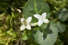 Молодая нимфа katydid куста в Верноне, Коннектикуте стоковое изображение