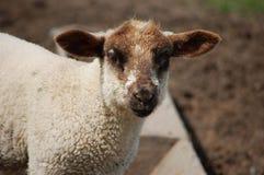 Молодая овечка с коричневыми ушами и намордником Стоковое фото RF