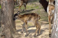 Молодая овечка moufflon идет в зоопарк Стоковые Фотографии RF