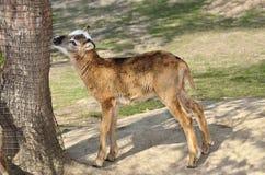 Молодая овечка moufflon идет в зоопарк Стоковые Изображения RF