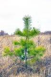 Молодая ординарность сосны дерева Стоковая Фотография RF