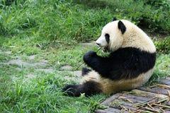 Молодая панда есть бамбук стоковая фотография rf