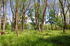 Молодая пуща весны Стоковые Изображения RF