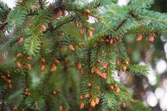 Молодая растущая ель пускает ростии на древесине ветви весной Стоковая Фотография RF
