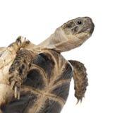 Молодая русская черепаха, черепаха Horsfield Стоковые Изображения RF