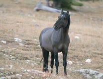 Молодая серая серебряная дикая лошадь конематки Grulla на сумраке вечера на Sykes Ридже в ряде дикой лошади гор Pryor в Монтане С Стоковая Фотография