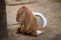 Молодая симпатичная коза спать около дерева Стоковое Изображение