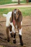 Молодая симпатичная коза стоя на поле Стоковые Фотографии RF