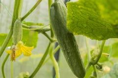 Молодая смертная казнь через повешение на заводе, растя здоровые овощи в парнике, взбираясь завод огурца Стоковые Фото