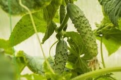 Молодая смертная казнь через повешение на заводе, растя здоровые овощи в парнике, взбираясь завод огурца Стоковые Фотографии RF