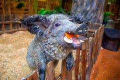 Молодая смешная розовая свинья стоковые изображения