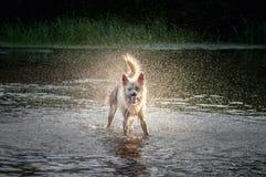 Молодая собака бежать на воде реки и брызг стоковое фото rf