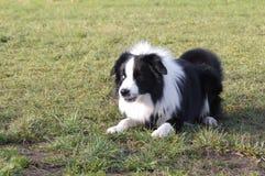 Молодая собака Коллиы границы Стоковые Изображения RF