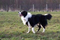 Молодая собака Коллиы границы Стоковое фото RF