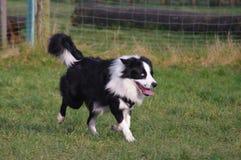 Молодая собака Коллиы границы Стоковая Фотография RF