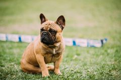 Молодая собака французского бульдога Брайна сидя в зеленой траве, в парке o стоковое изображение