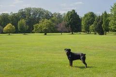 Молодая собака rottweiler стоя на зеленой траве в парке Стоковое Изображение