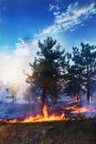 Молодая сосна в пламенах огня Лесной пожар стоковая фотография