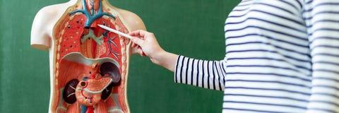 Молодая учительница в уроке биологии, уча анатомии человеческого тела, используя искусственную модель тела для того чтобы объясни стоковая фотография