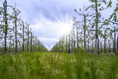 Молодая ферма яблока Стоковые Изображения