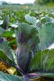 Молодая фиолетовая круглая капуста засаживает расти на поле и режиме фермы стоковые изображения