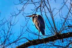 Молодая цапля большой сини сидя на ветви дерева в болоте Pitt-Addington на озере Pitt в долине Британской Колумбии, Канаде Fraser Стоковая Фотография RF