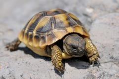 Молодая черепаха Херман стоковое фото