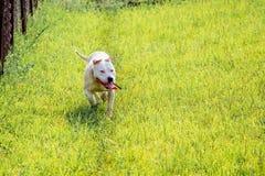 Молодое белое pitbull породы собаки бежать через зеленую траву прогулка стоковое фото
