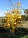 Молодое дерево гранатового дерева с желтыми листьями осени цветы абстрактной осени яркие понижаются красный цвет картины листьев  стоковые фото