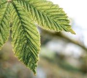 Молодое дерево конского каштана увиденное в весеннем времени Стоковая Фотография RF
