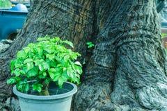 молодое дерево на предпосылке дерева задней части цветочного горшка старой Стоковые Фотографии RF