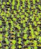 Молодое дерево сосенки Стоковое фото RF