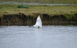 Молодое заплывание увиденное Swann в большом озере ища еда, путем dunking его голова, underwater Стоковая Фотография