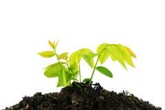 Молодое зеленое растение растя от кучи почвы изолированной на белом ба Стоковая Фотография