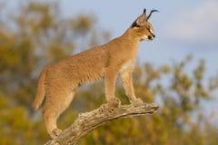 Молодое Каракал (кошка caracal) Южно-Африканская РеспублЍ Стоковое фото RF