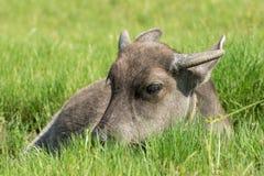 Молодое место индийского буйвола на злаковике Стоковое Изображение RF