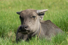 Молодое место индийского буйвола на злаковике Стоковая Фотография RF
