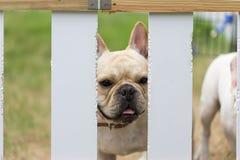 Молодое милое животное французского бульдога Стоковые Фотографии RF