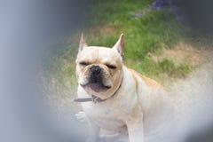 Молодое милое животное французского бульдога Стоковая Фотография