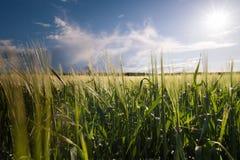 Молодое пшеничное поле в солнечном дне стоковая фотография