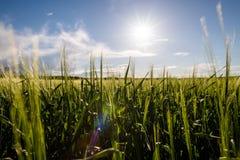 Молодое пшеничное поле в солнечном дне стоковая фотография rf