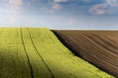 Молодое пшеничное поле в солнечном дне стоковое фото rf
