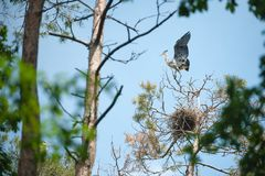 Молодое серое положение цапли на верхней части дерева, развевая крыльев и попытки лететь вверх стоковые изображения