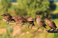 Молодое стадо starlings сидя на ветви Стоковая Фотография