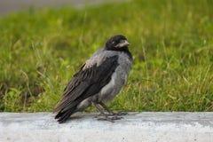 Молодое cornix Corvus в европейском городе стоковое изображение rf
